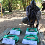 Farmers in Northern Uganda embrace new Simsim (Sesame) varieties for improved yield