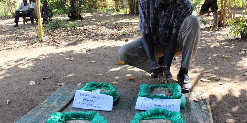 Farmers in Northern Uganda embrace new Simsim (Sesame) varieties for