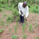 AfrII extends technologies to farmers to boost production of upland rice in Uganda.